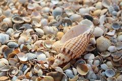 Лож одного большие seashell поверх много небольших круглых seashells стоковое фото