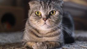 Лож створки кота створки Scottish cottish акции видеоматериалы