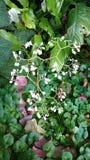 Лоза белого цветка - lilly долины Стоковые Изображения