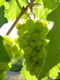 лоза близкой виноградины группы зрелая поднимающая вверх Стоковое Фото