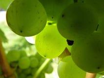 лоза близкой виноградины группы зрелая поднимающая вверх Стоковая Фотография RF