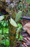 Лоза ванильного Planifolia - орхидея flavoring - в Керале, Индии, Азии стоковые фото