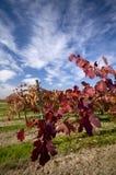 лоза виноградины ветви Стоковое Изображение RF