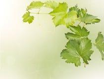 Лоза виноградины изолированная на предпосылке bokeh Стоковое Изображение