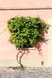 Лоза виноградины на розовой стене Стоковое Изображение