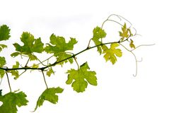 лоза виноградины Стоковые Изображения RF