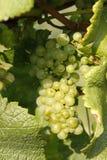 лоза виноградины Стоковые Изображения