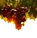 Лоза виноградины Стоковые Фото