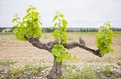 лоза виноградины Стоковое Изображение RF