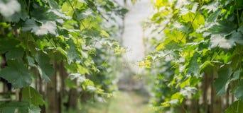 Лоза виноградин в аграрном саде Стоковые Фотографии RF