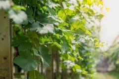 Лоза виноградин в аграрном саде Стоковые Изображения