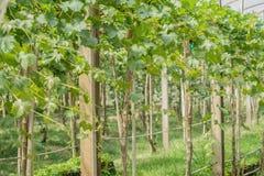 Лоза виноградин в аграрном саде Стоковое фото RF