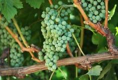 лоза виноградин зеленая Стоковые Фотографии RF