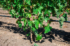 лоза виноградин зеленая Стоковая Фотография