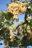лоза виноградин зрелая Стоковая Фотография