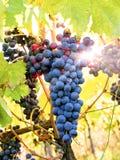 лоза виноградин светящая Стоковые Фотографии RF