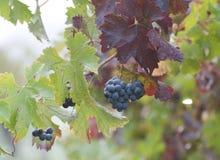 лоза виноградин Стоковое Изображение