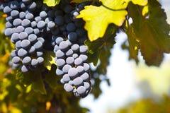 лоза виноградин Стоковое фото RF