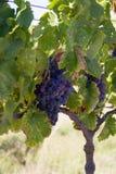 лоза виноградин Стоковое Изображение RF