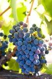 лоза виноградин Стоковые Изображения