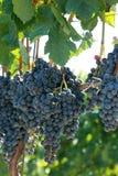 лоза виноградин dof согласия крупного плана отмелая Стоковое Изображение RF