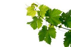 лоза виноградины Стоковое фото RF
