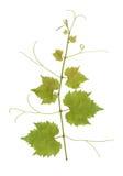 лоза виноградины Стоковая Фотография