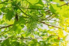 Лоза виноградин в аграрном саде Стоковое Изображение