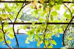 Лоза виноградин на задворк загородного дома Стоковые Фотографии RF