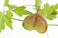 Лоза воздушного шара, горох сердца, семя сердца, ровный leaved горох сердца на белой предпосылке Стоковые Фото