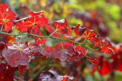 Лоза выходит в итальянский виноградник в осени Стоковая Фотография RF
