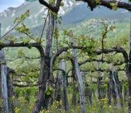 Лоза в траве Стоковая Фотография RF