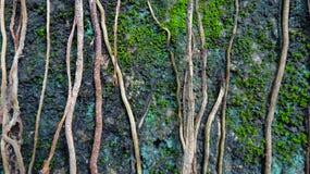 Лоза дерева протягивает на камень стоковое фото rf