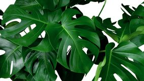 Лоза зеленых тропических джунглей орнаментального завода Monstera листьев вечнозеленая на белой предпосылке Стоковые Фото