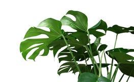 Лоза зеленых тропических джунглей орнаментального завода Monstera листьев вечнозеленая на белой предпосылке Стоковая Фотография