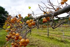 Лоза и золотые виноградины muscadine стоковое фото