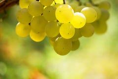 Лоза и пук белых виноградин в саде в осени Стоковая Фотография RF