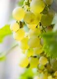Лоза и пук белых виноградин в саде в осени Стоковое Изображение