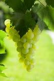 Лоза и пук белых виноградин Стоковое Фото