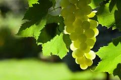 Лоза и пук белых виноградин Стоковое фото RF
