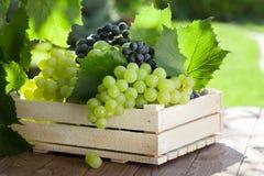 Лоза и пук белых виноградин Стоковые Изображения RF