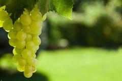 Лоза и пук белых виноградин Стоковые Изображения