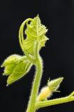 Лоза и плодоовощ тыквы Стоковые Фотографии RF