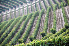 лоза картины Италии виноградины barolo Стоковое фото RF