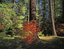лоза клена bush Стоковое Изображение