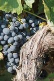 лоза красного цвета виноградин Стоковые Изображения RF
