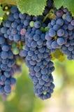 лоза красного цвета виноградин Стоковое Изображение RF