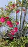 Лоза куста роз Стоковые Фотографии RF