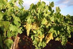 лоза листьев виноградин Стоковое Изображение