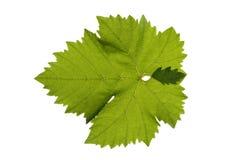 лоза листьев стоковая фотография